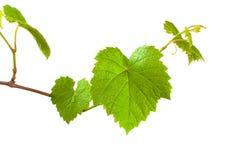 Germen verde de la uva Fotos de archivo libres de regalías