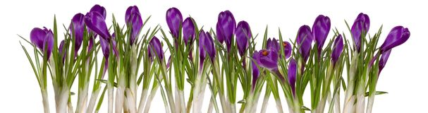 Germer de fleurs de source photos stock