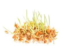 Germes de blé photo stock