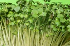 Germes de moutarde avec les feuilles vertes images libres de droits
