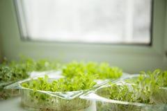 Germes des verts micro sur le rebord de fenêtre images stock