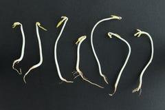 Germi di soia su fondo nero Fotografie Stock