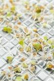 Germi geneticamente modificati in laboratorio fotografie stock