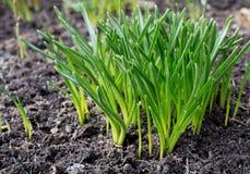 Germinação da grama verde Fotografia de Stock Royalty Free