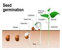 Germinação da semente Fotografia de Stock