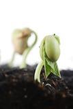 Germinação da semente do feijão Foto de Stock