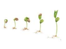 Germinação da semente do feijão Fotografia de Stock Royalty Free