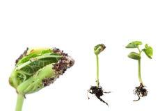 Germinação da semente do feijão, com DOF detalhe-raso macro fotos de stock royalty free