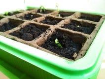 Germinação da semente, planta do pepino das plântulas Close-up seletivo da plântula verde imagens de stock royalty free
