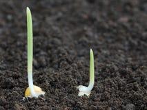 Germinación del maíz en suelo fértil Fotografía de archivo libre de regalías