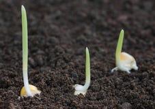 Germinación del maíz en suelo fértil Imágenes de archivo libres de regalías