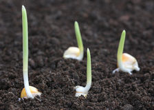 Germinación del maíz en suelo fértil Fotos de archivo libres de regalías