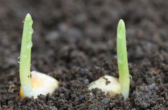 Germinación del maíz en suelo fértil Fotos de archivo