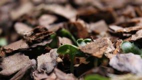 Germinación vegetal cada vez mayor de los brotes del timelapse de las plantas metrajes