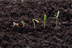 Germinación de la planta del cilantro (perejil) Fotografía de archivo libre de regalías