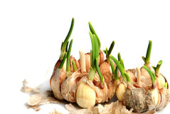 Germinate garlic Royalty Free Stock Images