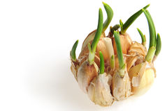 Germinate garlic Royalty Free Stock Photos