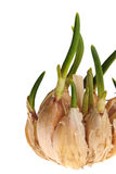 Germinate garlic Stock Photos