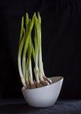 Germinate Garlic Stock Photo