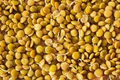 Germinate lentil on wooden background, health food, legume.  Stock Image