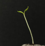 Germinate. The sunflower seed to germinate Stock Photo