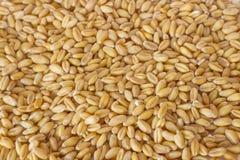 Germinated brown rice or GABA-rice, medicinal properties. Stock Image