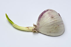 Germinated chinese garlic #3 Stock Images