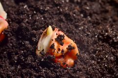 Germinated Corn Grain Royalty Free Stock Photography