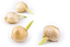 Germinated garlics Royalty Free Stock Image