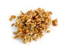 Germinated grains of wheat. Stock Photos