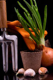 Germinated onion, garlic, basket, rakes and peat pot with soil f Royalty Free Stock Photo