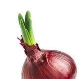 Germinated onion Royalty Free Stock Photo