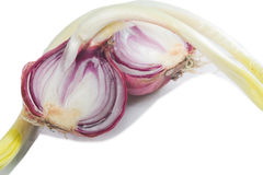 Germinated onion Royalty Free Stock Photography
