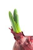 Germinated onion macro shot Stock Image