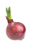 Germinated onion on white Stock Photo
