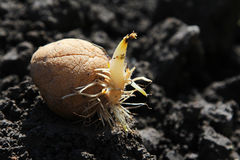 Germinated potato on the ground Royalty Free Stock Photo