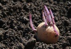 Germinated potato on the ground Royalty Free Stock Photos
