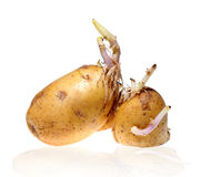Germinated potato isolated on white background Stock Images
