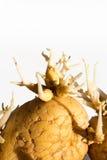 Germinated potato. On white background Royalty Free Stock Images
