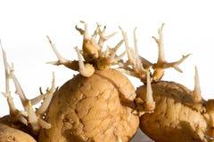 Germinated potato. On white background Royalty Free Stock Photo