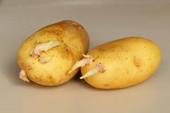 Germinated potatoes. Two yellow germinated potatoes on a table Royalty Free Stock Photography