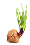 Germinated red onion Stock Images