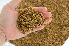 Germinated rice. Close up germinated rice in hand Stock Images
