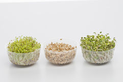 Germinated seeds of cress, radish, wheat. Over white background with shadow Stock Image