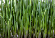 Germinated seeds of oat, green grass. Royalty Free Stock Photography