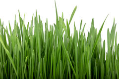 Germinated seeds of oat, green grass. Stock Photography