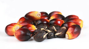 Germinated seeds and Oil Palm seeds Stock Photo