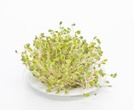 Germinated seeds of radish Stock Photo