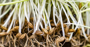 Germinated sprouts of barley grass Royalty Free Stock Image