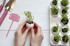Germinated sprouts in an egg shell in female hands.  Royalty Free Stock Image